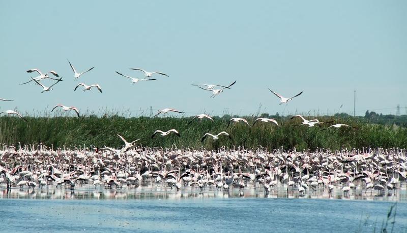 Lessor Flamingos